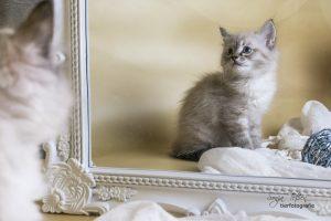Sibirer Kitten- Blick in den Spiegel