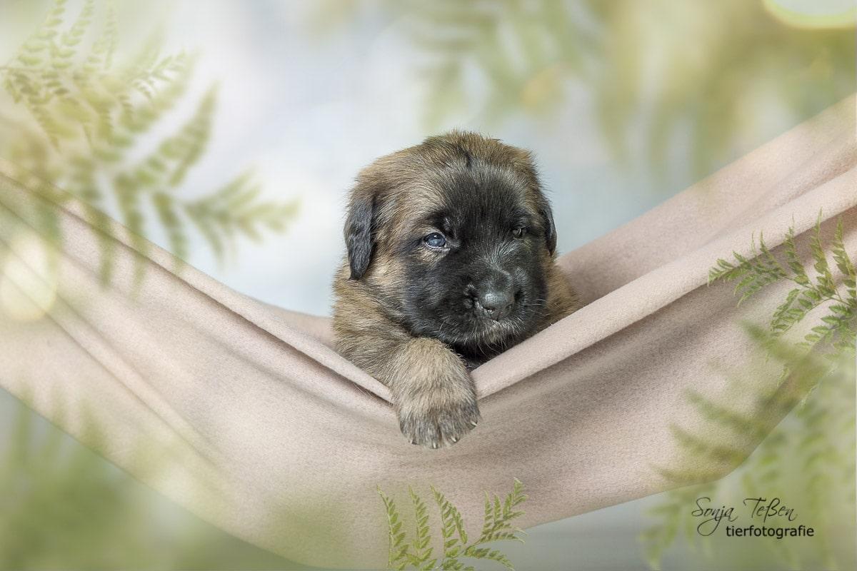 Bärenhund-Welpe