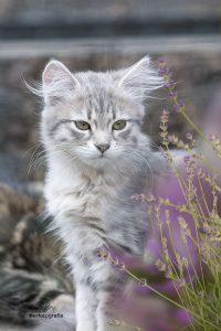 Sibirer Katze
