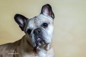 Cosima, Franz. Bulldogge
