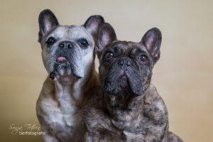 Cosima und Gustav, Franz. Bulldoggen