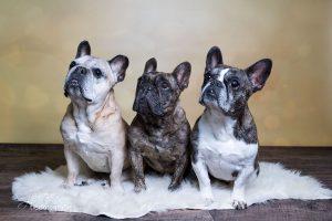 Cosima, Gustav und Olivia - Franz. Bulldoggen