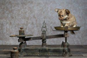 Chihuahua-Welpe