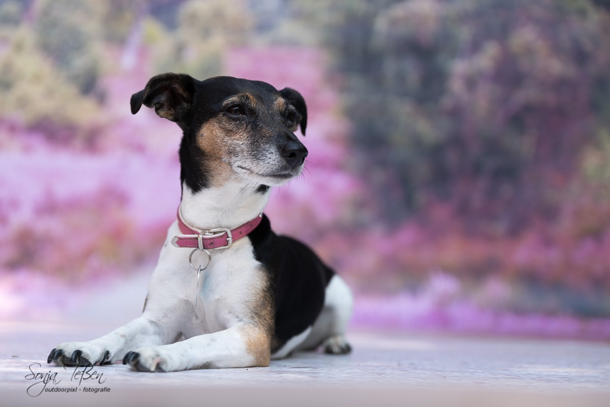 Lilly, Jack-Russell Terrier