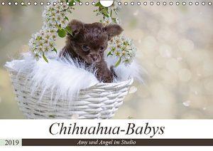 Chihuahua-Babys
