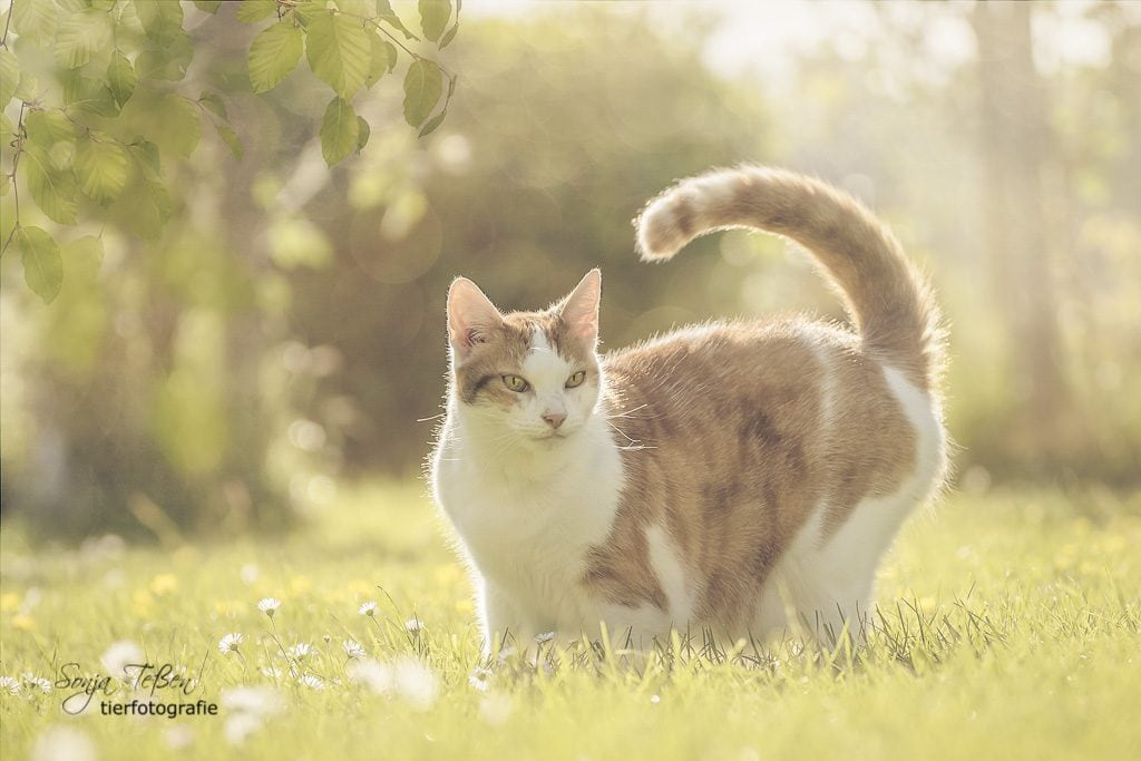 Lilly, weiß-rote Katze