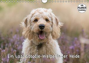 Ein Labradoodle-Welpe in der Heide