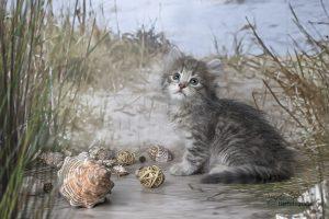 Sibirer Kitten