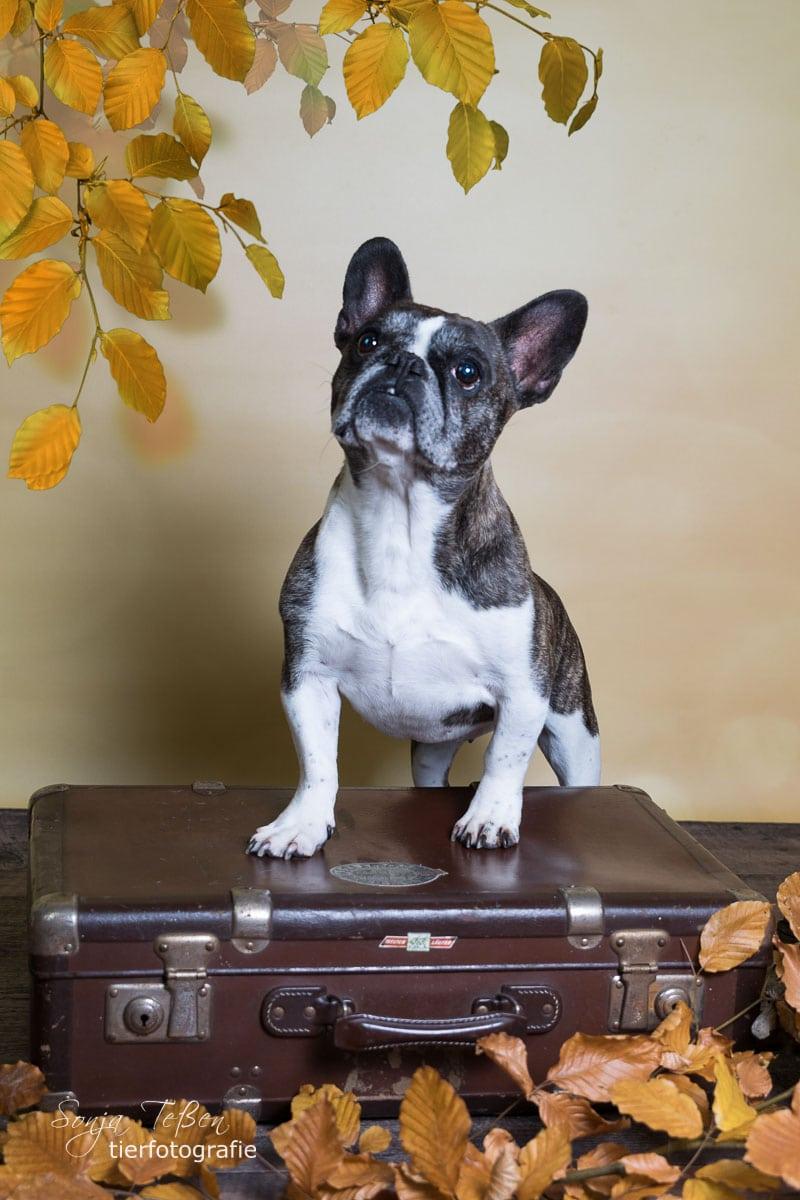 Olivia- Franz. Bulldogge
