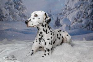 Minchen, Dalmatiner