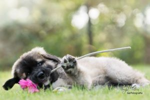 germ. Bärenhund-Welpe