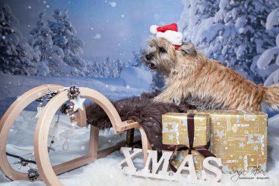 Cairns Terrier beim Weihnachtsshooting