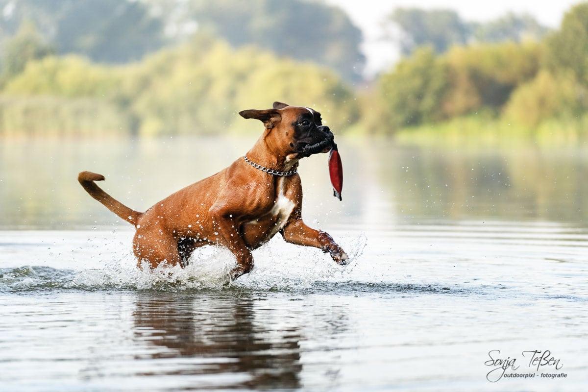 Boxer im See